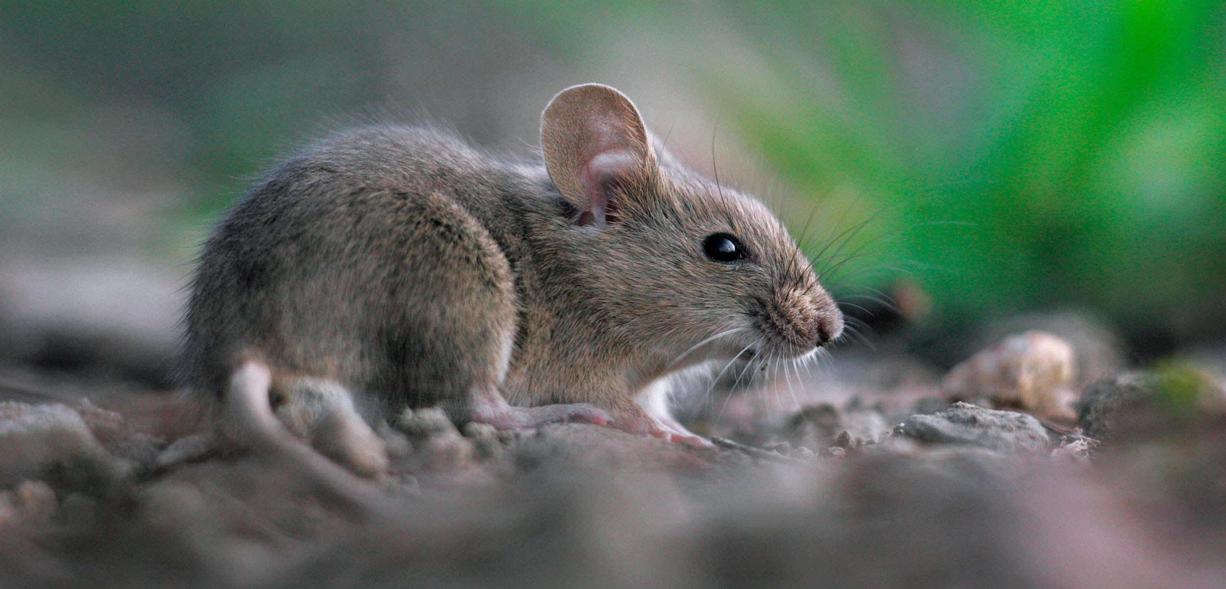 Types of Rodent Pests